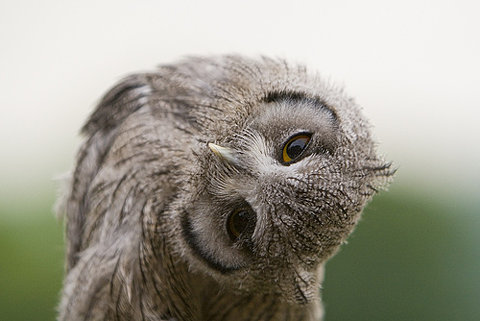 owl_pic
